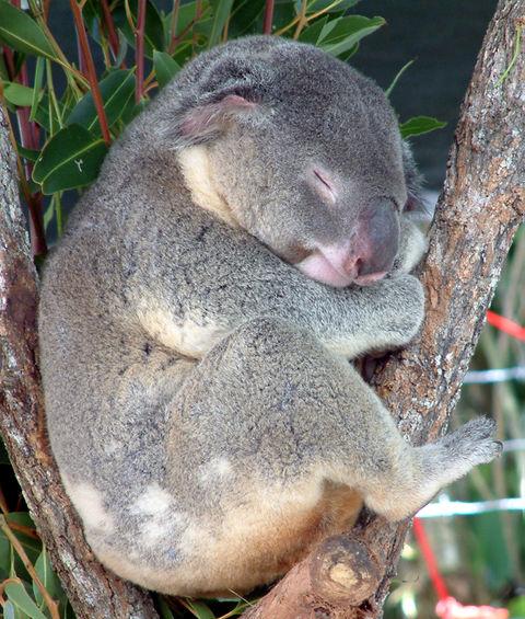 hvad spiser koalabjørne