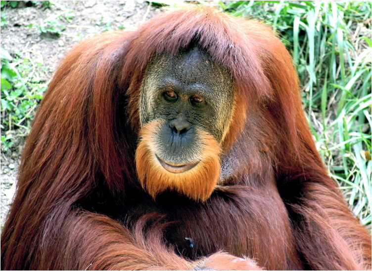 Bearded Monkey Name: Menneskeaper