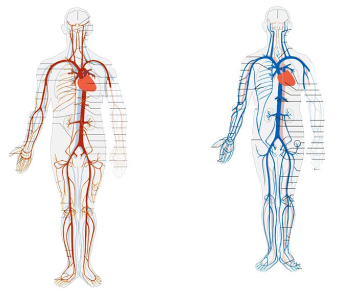 vener i kroppen